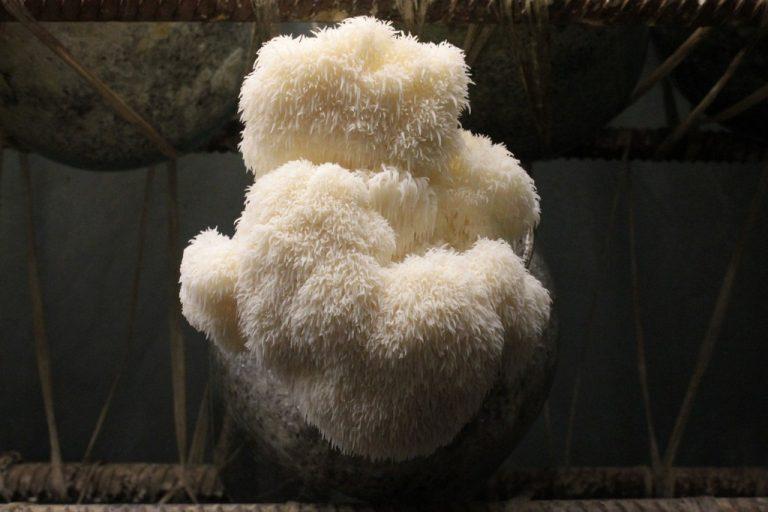 Очень вкусный и полезный гриб гериций