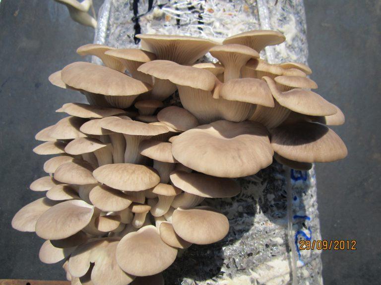 Знакомьтесь – гриб вешенка